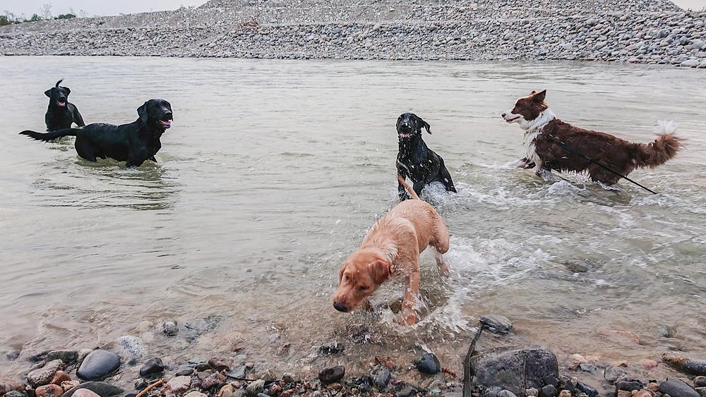 川で遊ぶラブラドールの家族とボーダーコリー