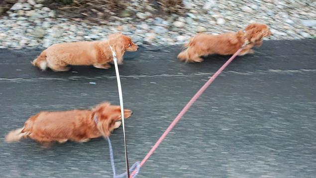 ダックスフンド3匹と散歩