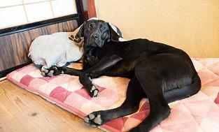 ベッドで寝るラブラドールのアイラ