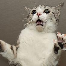 驚いてるサバ白のスカイラボの猫そら
