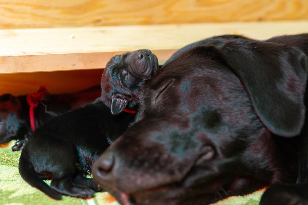 仔犬と寝るラブラドールレトリーバー