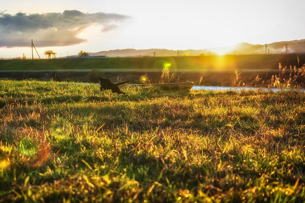 草原を走るラブラドール
