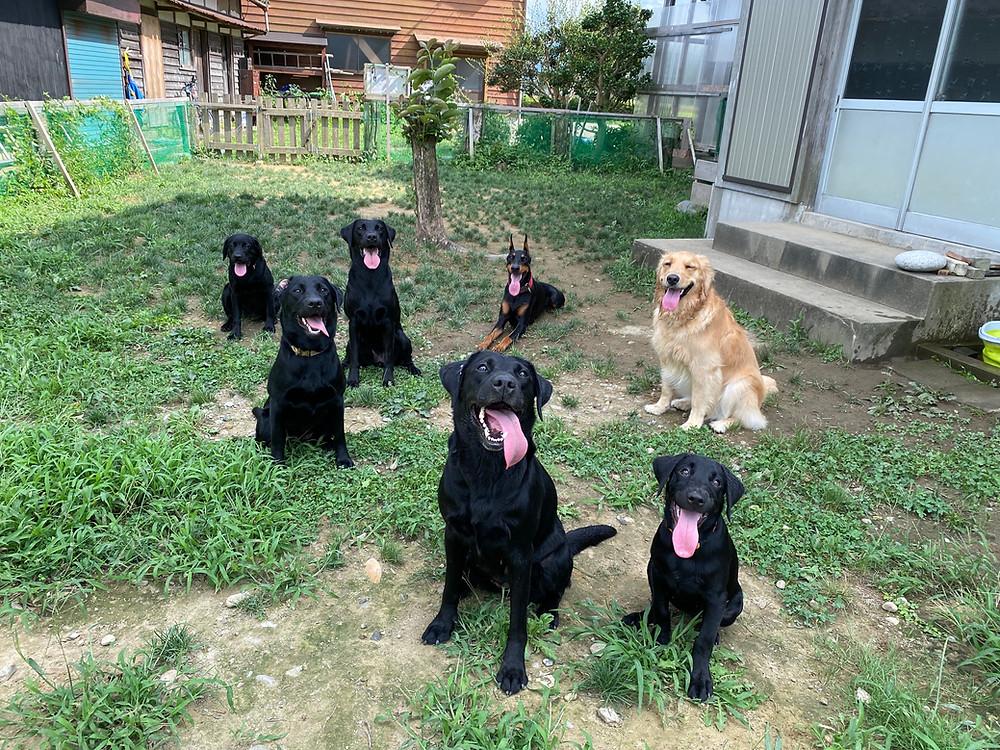 ラブラドール-ゴールデンレトリバー-ドーベルマン-ドッグトレーナーが子犬を育てる