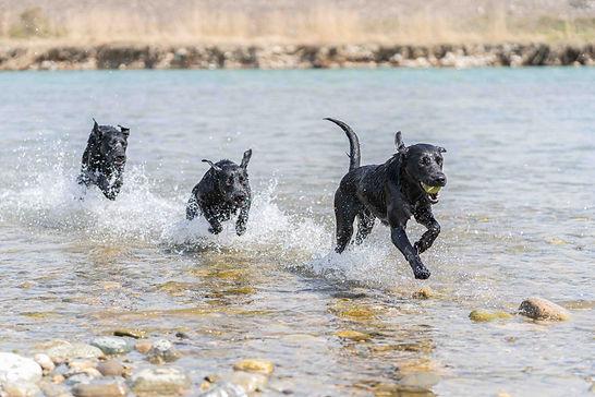 水の中を駆け抜けるラブラドール3匹