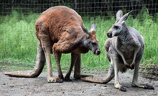 two-kangaroos