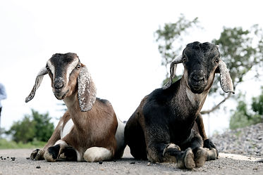 two-brown-and-black-goats