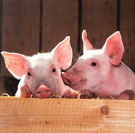 two-piglets
