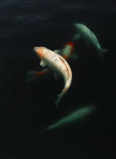 white-and-orange-koi