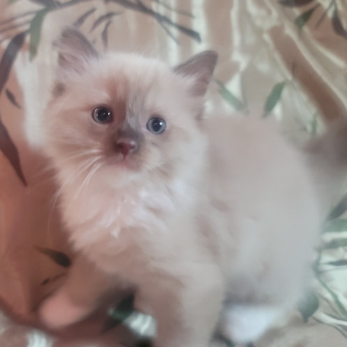 Attis- Chocolate Point Mink Mitted Male Ragdoll Kitten