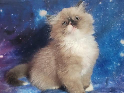 Figaro- Seal Point Mink Mitted Ragdoll Kitten