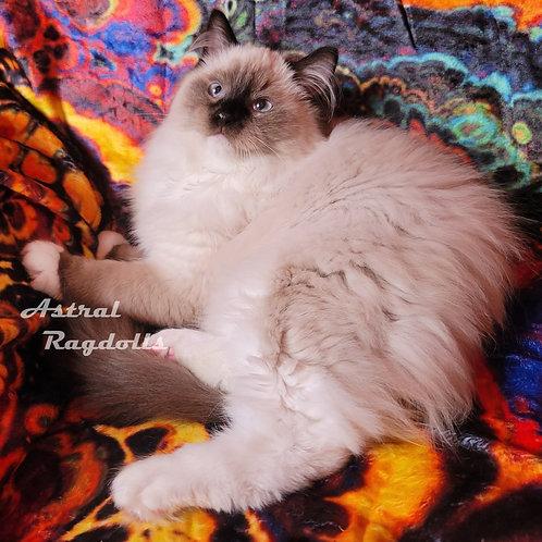 Dante- Seal Point Mitted Male Ragdoll Kitten