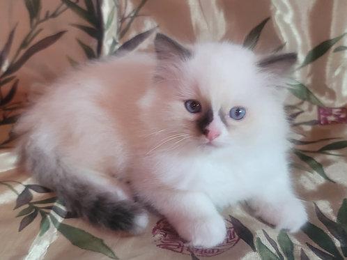 Cosmo- Chocolate Point Male Ragdoll Kitten