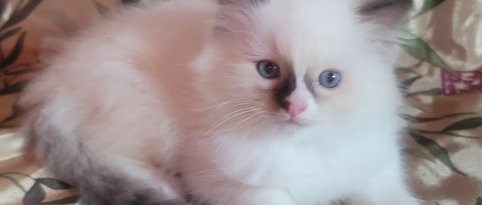Cosmo- Chocolate Point Male Ragdoll Kitten
