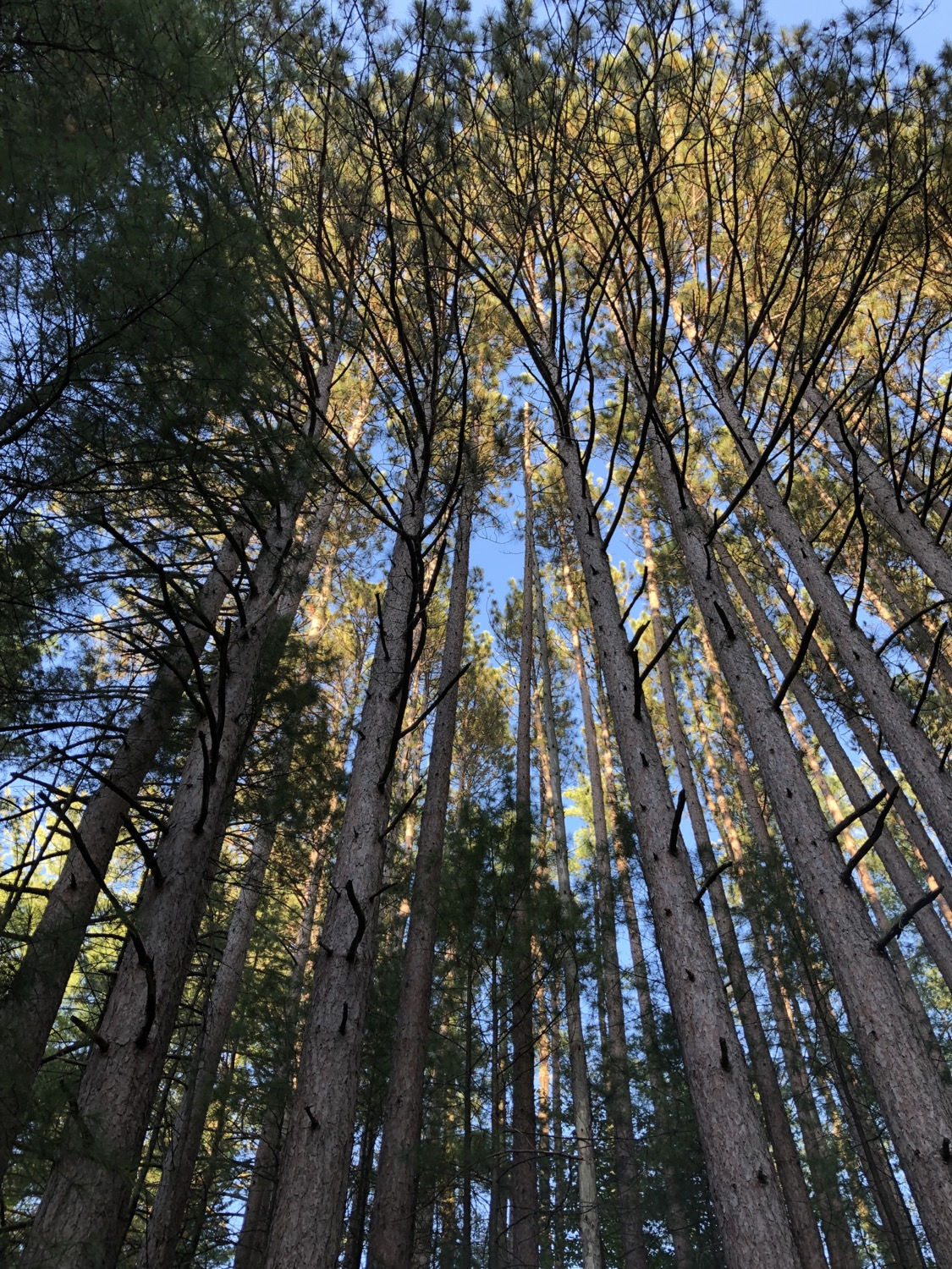 Mast Forest