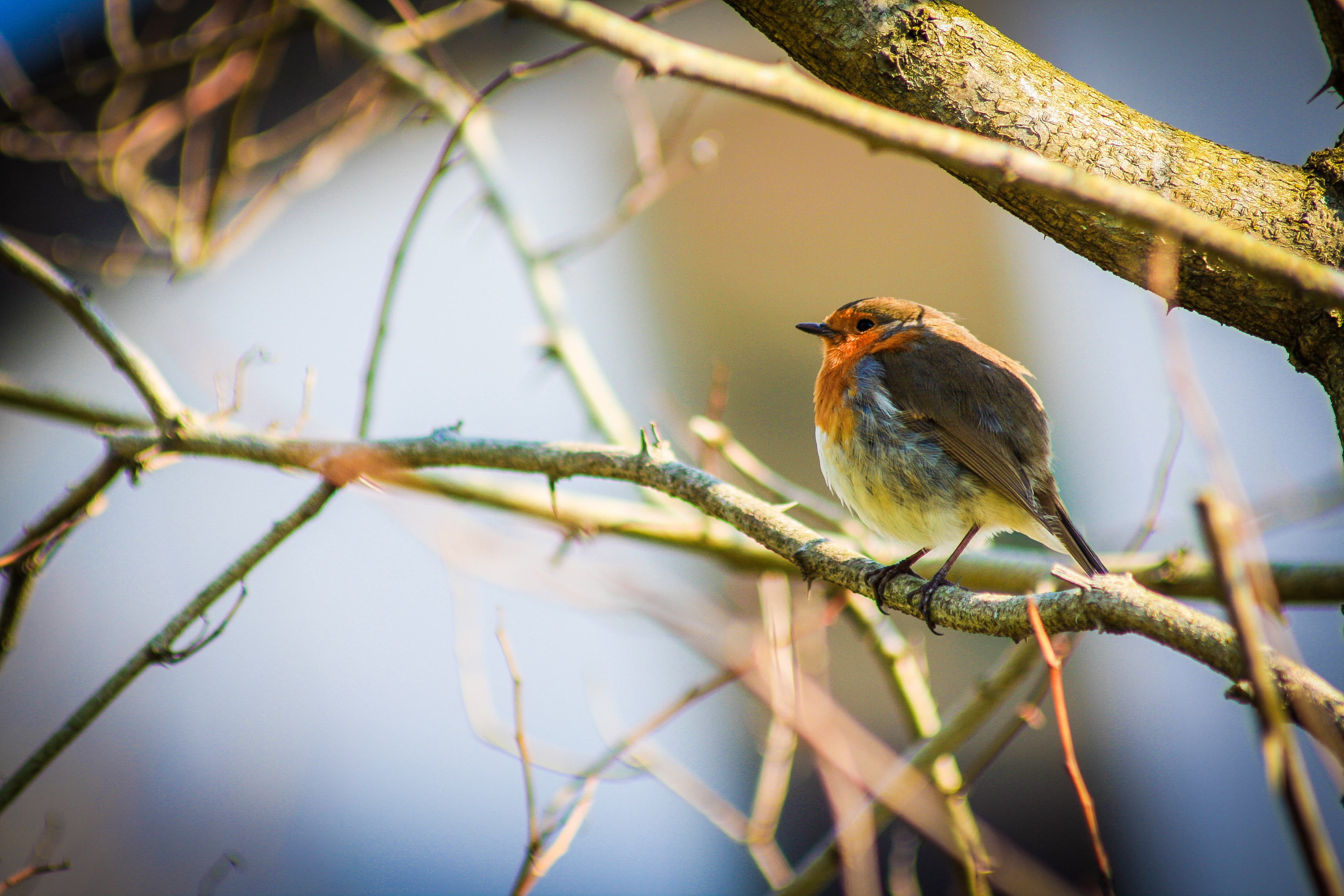 Mums Favourite - Robin