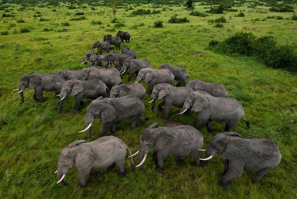 Savannah & Forest Elephants