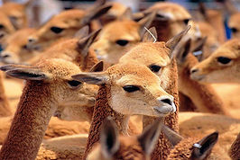 4) vicuñas.jpg