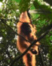 Wils Sumatran orangutan in Bukit Lawang, North Sumatra