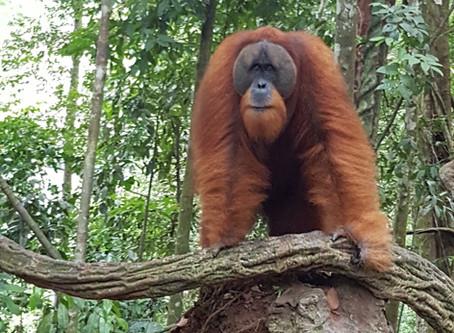 How Palm Oil is Killing The Sumatran Orangutan.