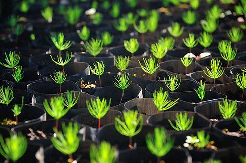Young pine tree seedling..jpg