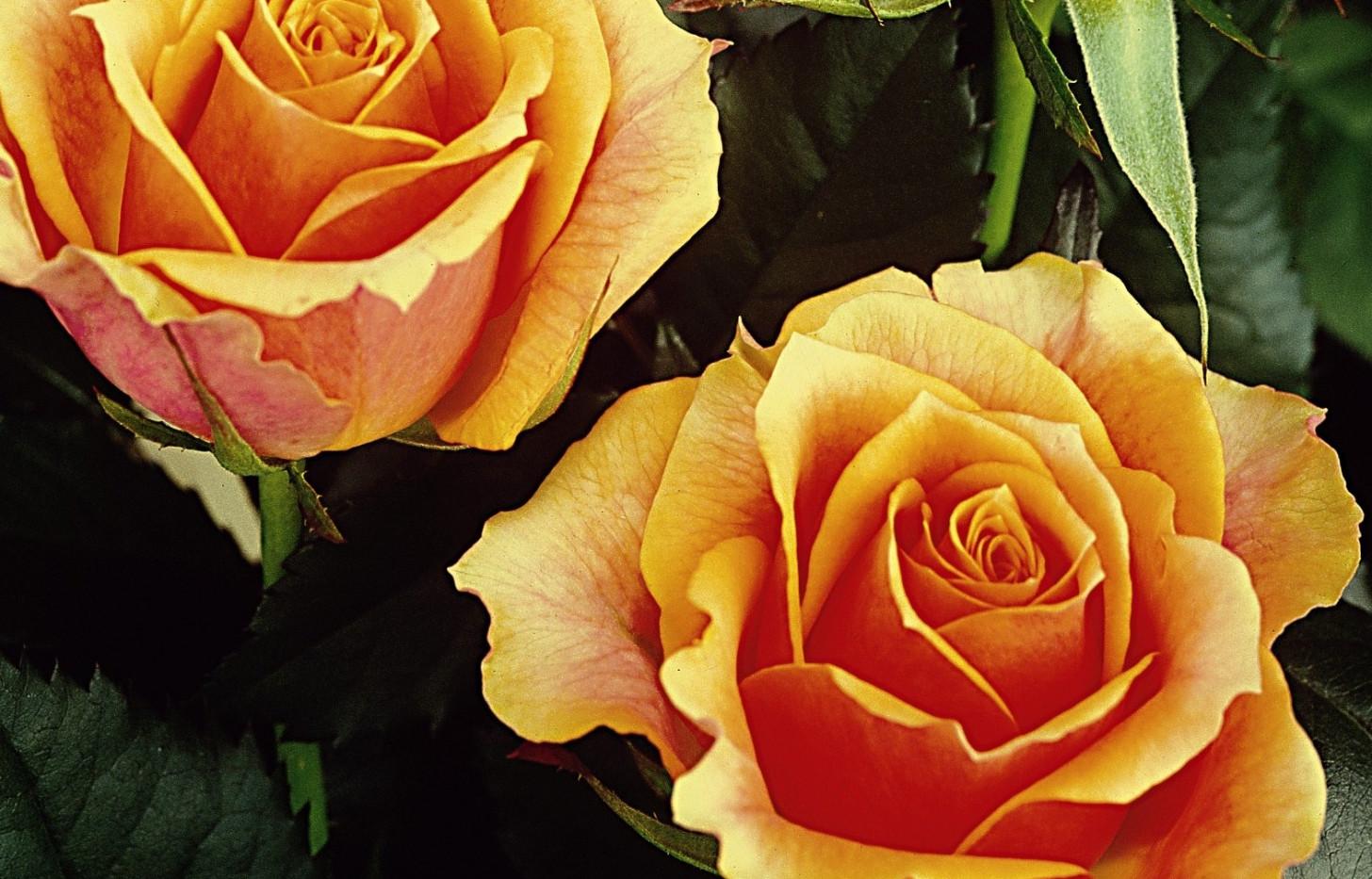 Rosa Tea Time1.jpg