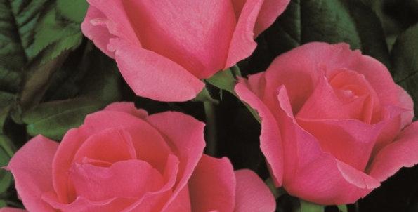 Rosa tea hybrid Piroschka