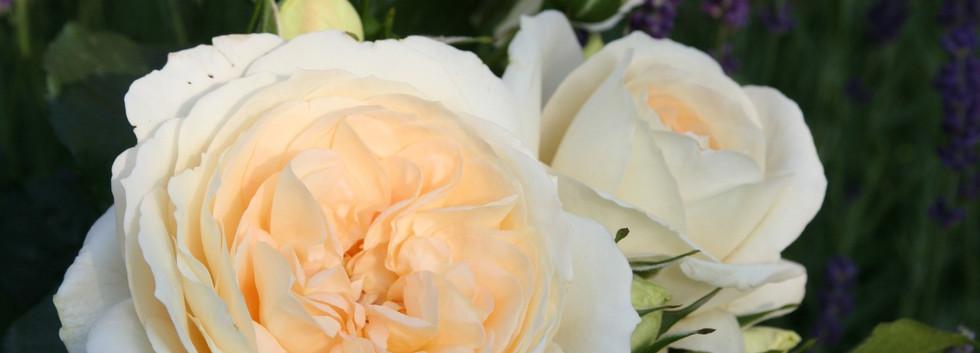 Rosa Marie Antoinette1.jpg