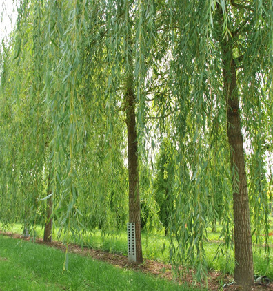 Salix sepulcralis Chrysocoma_1.jpg