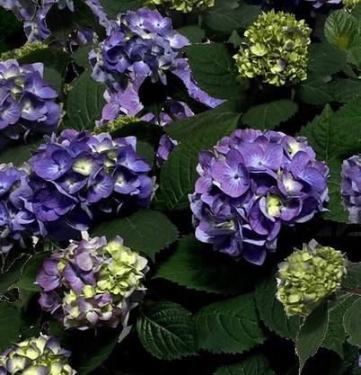 Hydrangea_m._Endless_Summer®_BLOOMSTAR.j