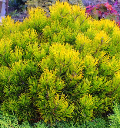 Pinus mugo Golden Glow_2.jpg
