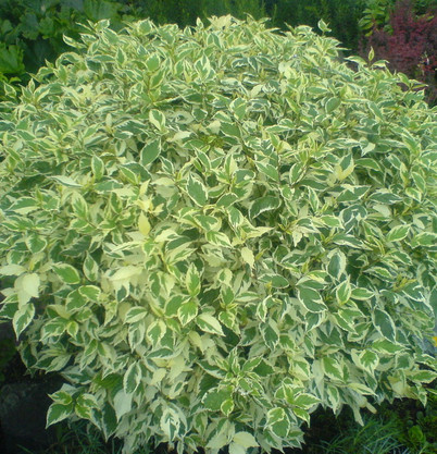 Cornus alba 'Elegantissima'..jpg