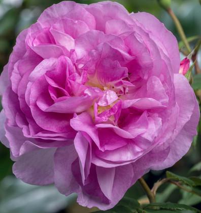 Rosa Saphir2.jpg
