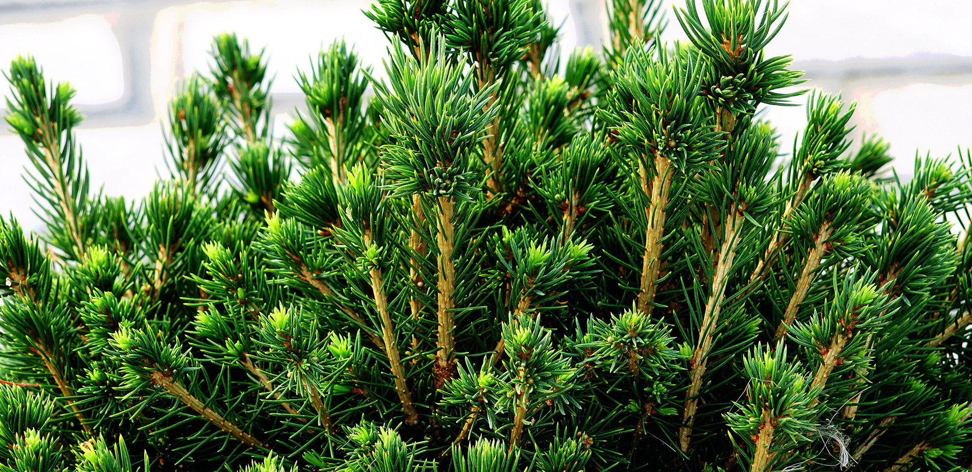 Picea abies Tompa_2.JPG
