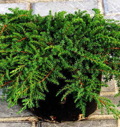 Juniperus communis Green Carpet_1.JPG