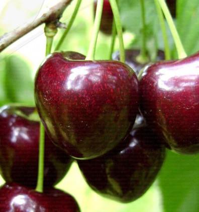 Prunus avium Kordia.jpg