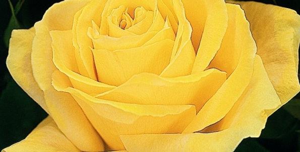 Rosa tea hybrid Duftgold
