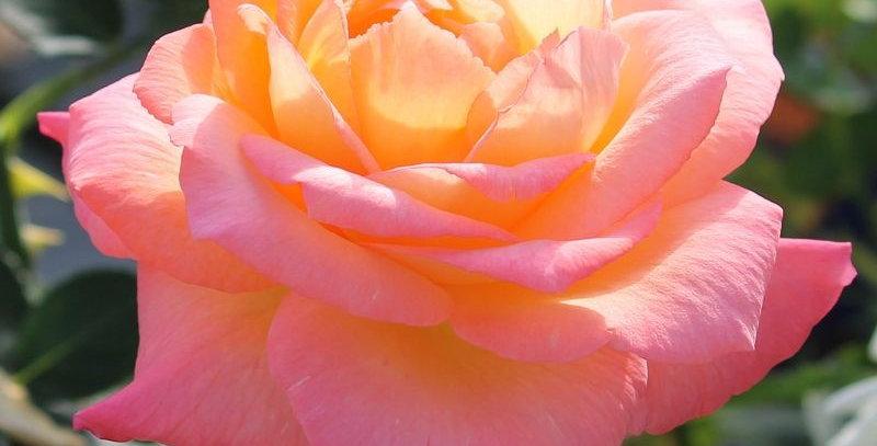 Rosa tea hybrid Frohsinn 82