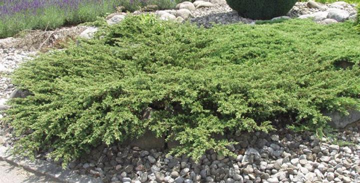 Можжевельник обыкновенный 'Repanda' (Juniperus communis 'Repanda')