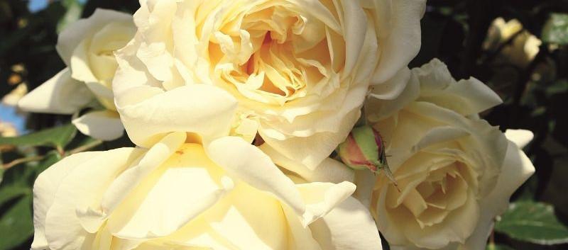 Rosa Elfe2.jpg