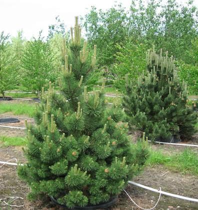 Pinus mugo Columbo_1.jpg