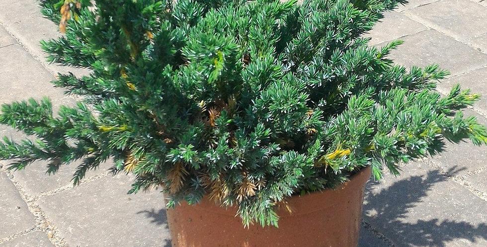Можжевельник чешуйчатый 'Мейери'  (Juniperus squamata 'Meyeri')