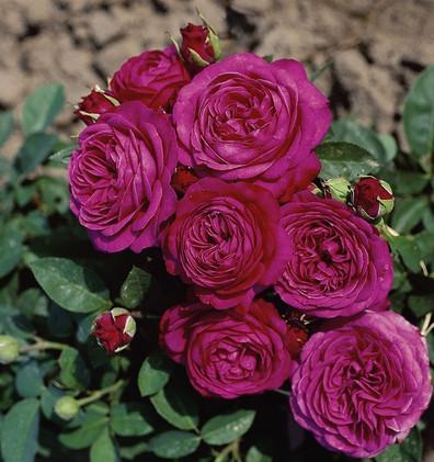 Rosa Heidi Klum2.jpg