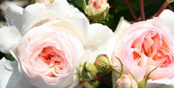 Rosa floribunda Baronin Zu Guttenberg