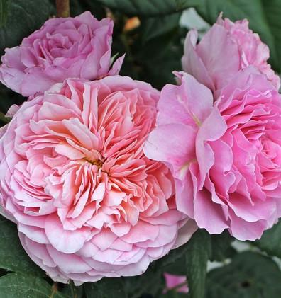 Rosa Eisvogel1.jpg
