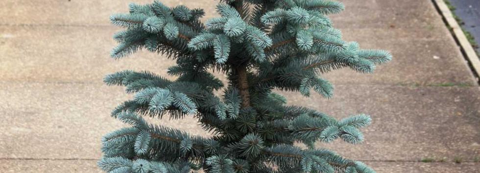 Picea pungens Blue Mountain_1.jpg