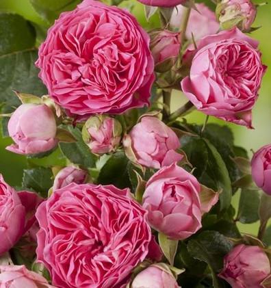 Rosa Candy Rokoko1.jpg