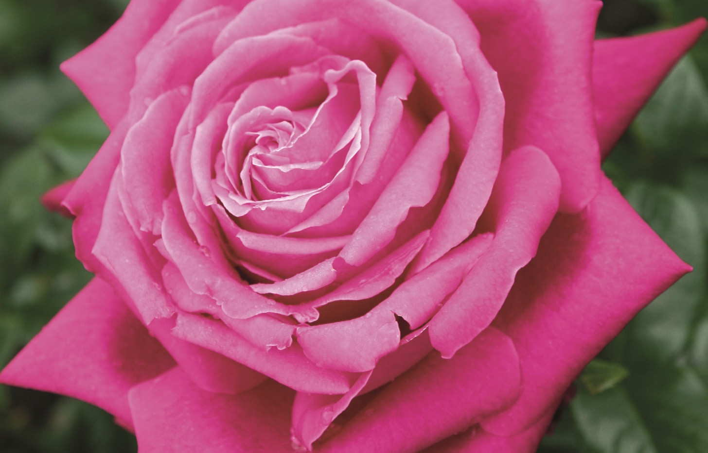 Rosa Senteur Royale1.jpg