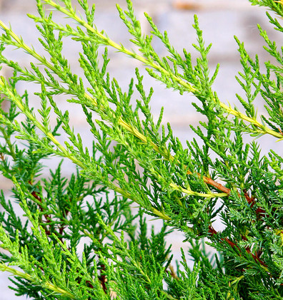 Juniperus chin Kuriwao Gold_2.JPG