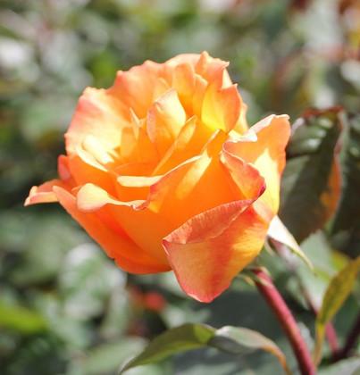 Rosa Whisky3.jpg