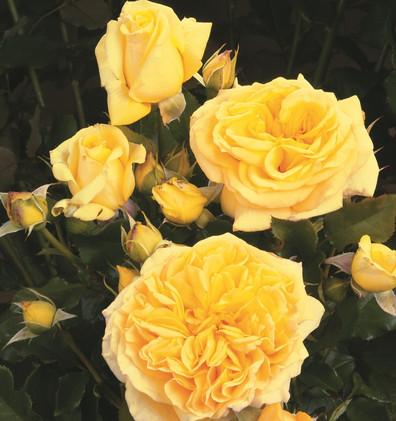 Rosa Divina1.jpg